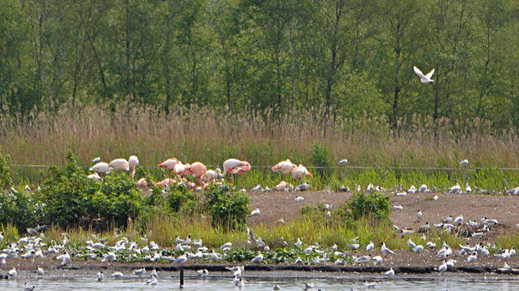 Flamingos in Zwillbrock